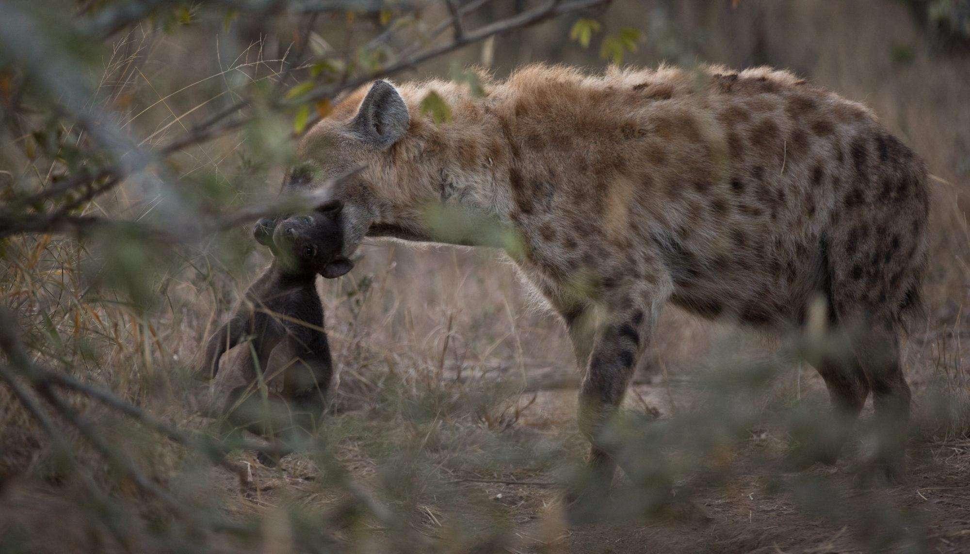 hyena-holding-pup-2018_16369  ஆணாகப் பிறந்தால் ரொம்பவே கஷ்டம்தான்!' கழுதைப் புலிகளின் சர்வைவல் கதை பகுதி 4 hyena holding pup 2018 16369