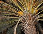 காத்தான்குடியில் காய்த்துக் குலுங்கும் பேரீச்சம் பழங்கள்