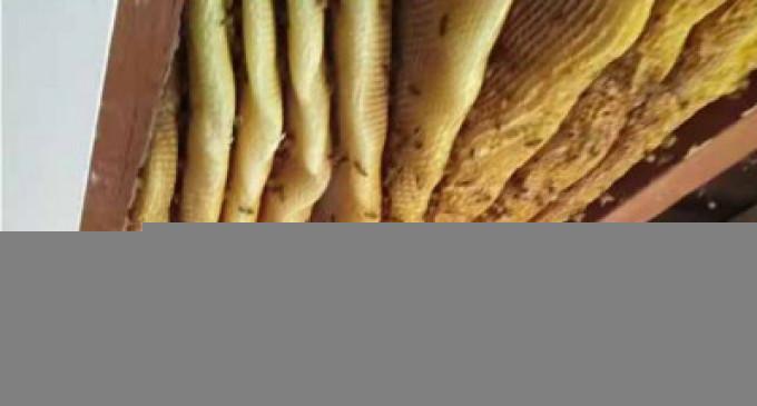 60 ஆயிரம் தேனீக்களுடன் தேன் கூடு மீட்பு- வீடியோ