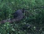 வவுனியா நெளுக்குளத்தில் குடியிருப்பிற்குள் நுழைந்த முதலை மீட்பு