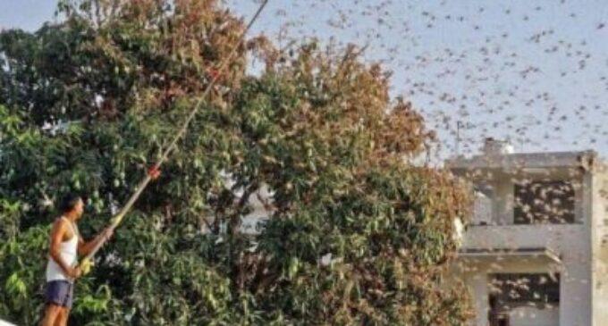 வெட்டுக்கிளிகள் படையெடுப்பு மீண்டும் தொடங்கியது – இந்திய அரசு அழிக்க முயற்சி