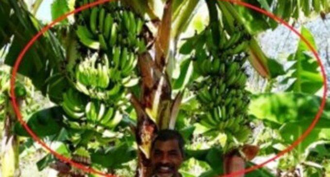 யாழில் அதிசயம் – ஒரு வாழை மரத்தில் இரண்டு குலைகள் படையெடுக்கும் மக்கள்
