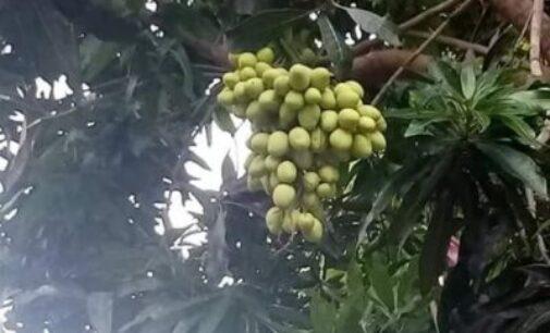 மா மரமொன்றில் காய்த்துக் குலுங்கிய 12 வகையான மாவினங்கள்