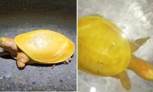 ஒடிசாவில் கண்டுபிடிக்கப்பட்ட அரியவகை மஞ்சள் நிற ஆமை